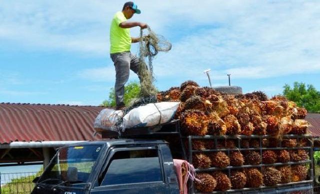 Pecah Rekor Sepanjang Masa, Ini Daftar Lengkap Harga TBS Sawit di Riau