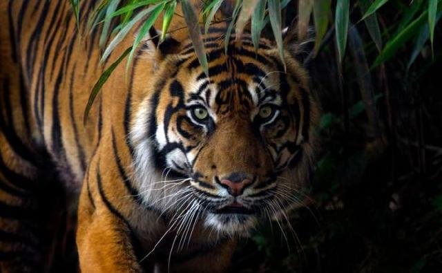 Seorang Remaja Diterkam dan Dibawa Harimau ke Dalam Hutan