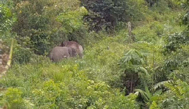 Warga Inhil Luka Diserang Gajah Liar